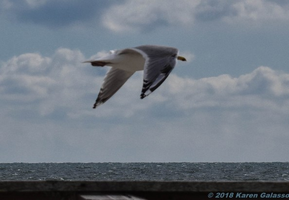 Birds of the Cape & Area 3-9 & 3-10 2018 (4 of 13)
