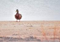 4 26 18 Nantucket birds (11 of 11)