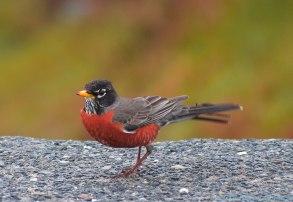 4 26 18 Nantucket birds (3 of 11)