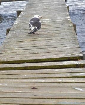 4 26 18 Nantucket birds (6 of 11)