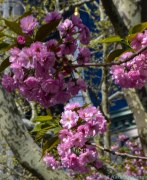 5 3 18 Brooklyn Flowers around City Hall Plaza (3 of 7)