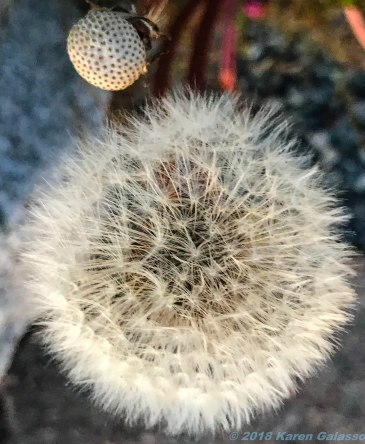 6 21 18 Dandelion close up (1 of 3)
