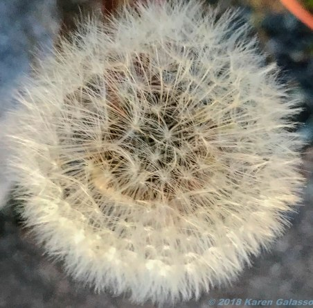 6 21 18 Dandelion close up (2 of 3)
