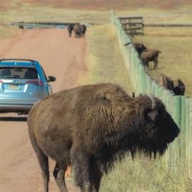 10 1 18 Buffalo Corral Custer SD (10 of 14)