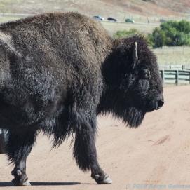 10 1 18 Buffalo Corral Custer SD (13 of 14)