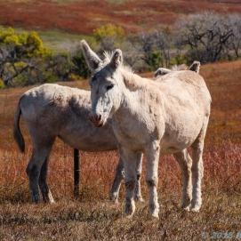 10 1 18 Buffalo Corral Custer SD (5 of 14)