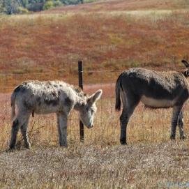 10 1 18 Buffalo Corral Custer SD (6 of 14)