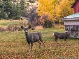 10 21 18 Deer roaming free at the Highlander Restaurant Helena MT (2 of 3)