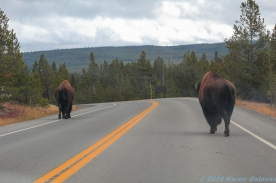 10 24 18 random bison walking through Yellowstone NP WY (4 of 7)