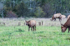 10 7 18 Elk herd in a field on the side of the road Snoqualmie WA (2)