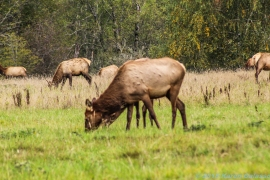 10 7 18 Elk herd in a field on the side of the road Snoqualmie WA (3)