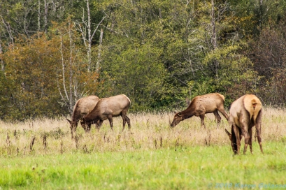 10 7 18 Elk herd in a field on the side of the road Snoqualmie WA (4)