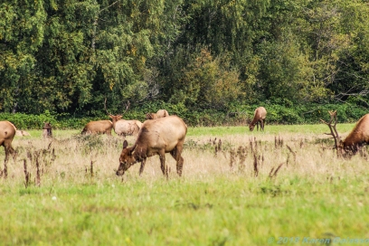 10 7 18 Elk herd in a field on the side of the road Snoqualmie WA (5)