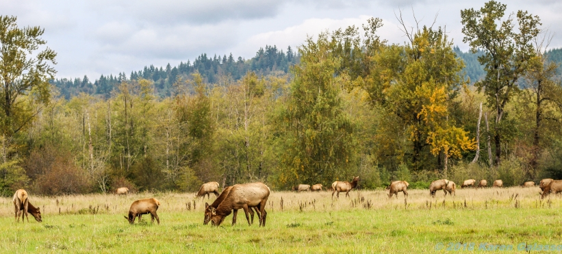 10 7 18 Elk herd in a field on the side of the road Snoqualmie WA (6)