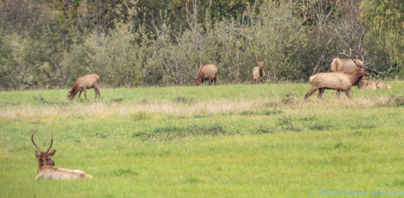 10 7 18 Elk herd in a field on the side of the road Snoqualmie WA (7)