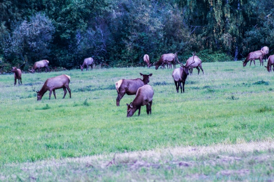10 7 18 Elk herd in a field on the side of the road Snoqualmie WA (8)