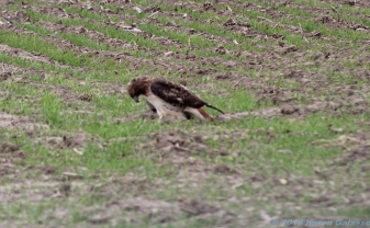 10 29 18 Red Tail Hawk toying with its meal...a snake! Oakley KS (1 of 11)