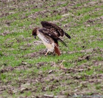 10 29 18 Red Tail Hawk toying with its meal...a snake! Oakley KS (3 of 11)