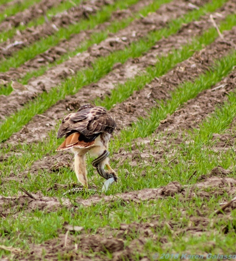 10 29 18 Red Tail Hawk toying with its meal...a snake! Oakley KS (5 of 11)