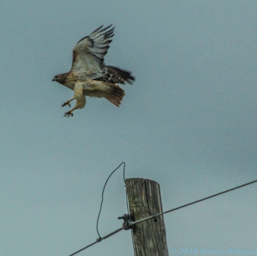 10 31 18 Red Tail Hawk (4 of 4)