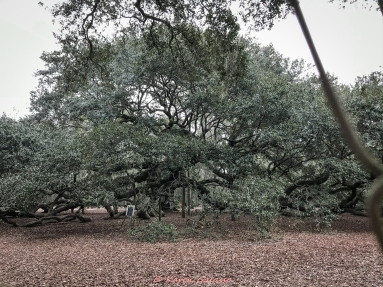 3 3 20 Angel Oak Johns Island SC closed so pictures through the fence (4 of 5)