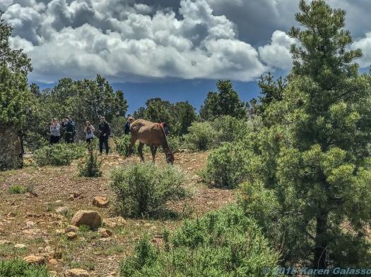 5 11 19 Mule Dee South Rim Grand Canyon AZ #2 #2 (1 of 1)