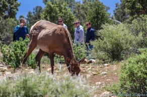 5 11 19 Mule Deer of the South Rim Grand Canyon AZ (1 of 10)