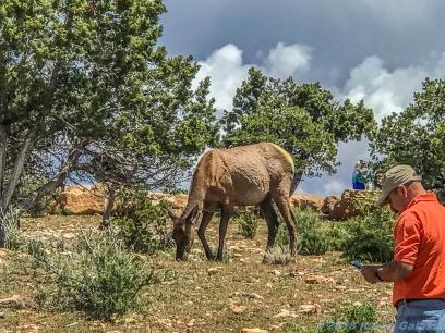 5 11 19 Mule Deer of the South Rim Grand Canyon AZ (10 of 10)