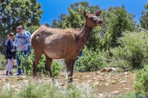 5 11 19 Mule Deer of the South Rim Grand Canyon AZ (2 of 10)