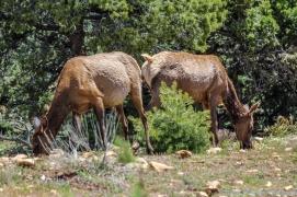 5 11 19 Mule Deer of the South Rim Grand Canyon AZ (4 of 10)