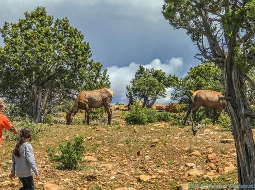 5 11 19 Mule Deer of the South Rim Grand Canyon AZ (8 of 10)
