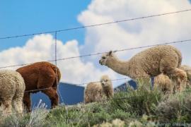 5 14 19 Alpaca Mora NM (2 of 8)