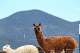 5 14 19 Alpaca Mora NM (4 of 8)