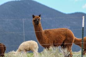 5 14 19 Alpaca Mora NM (5 of 8)