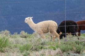 5 14 19 Alpaca Mora NM (6 of 8)