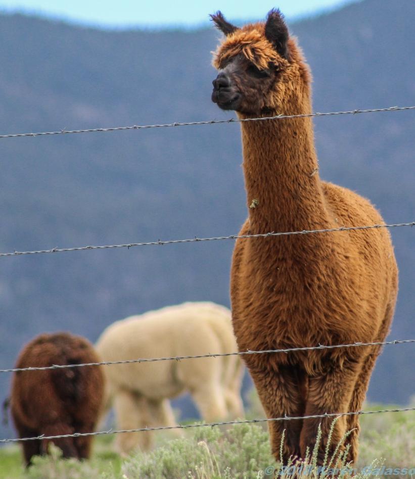 5 14 19 Alpaca Mora NM (8 of 8)