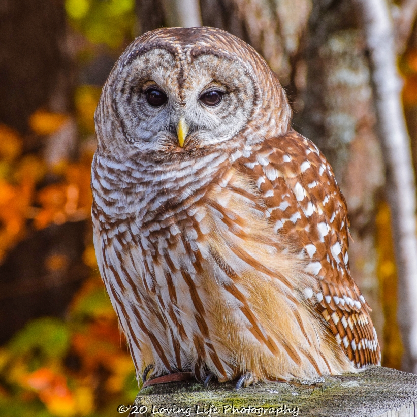 10 22 17 Barred Owl (1 of 7)