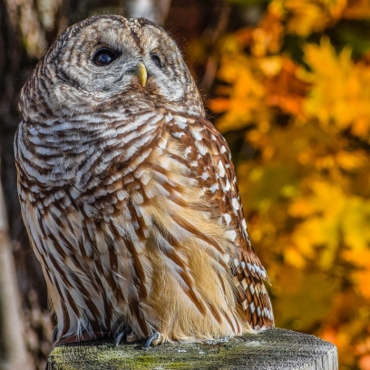 10 22 17 Barred Owl (2 of 7)