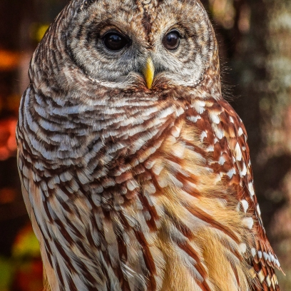 10 22 17 Barred Owl (3 of 7)