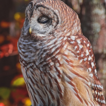 10 22 17 Barred Owl (4 of 7)