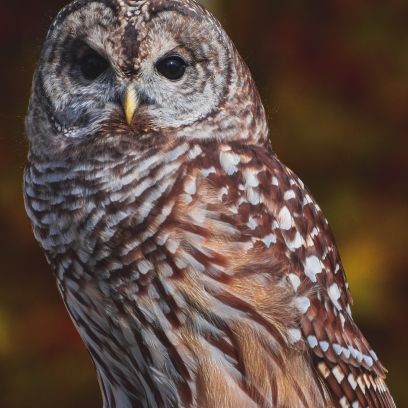 10 22 17 Barred Owl (5 of 7)