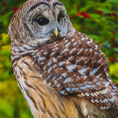 10 22 17 Barred Owl (6 of 7)