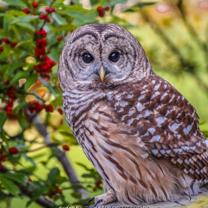 10 22 17 Barred Owl (7 of 7)