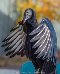 10 22 17 Black Vulture (2 of 8)