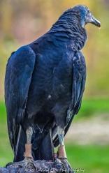 10 22 17 Black Vulture (3 of 8)