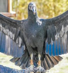 10 22 17 Black Vulture (4 of 8)