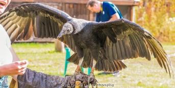 10 22 17 Black Vulture (5 of 8)
