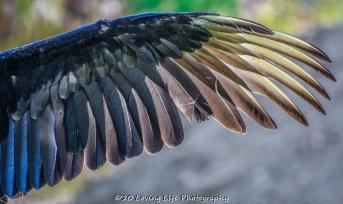 10 22 17 Black Vulture (6 of 8)