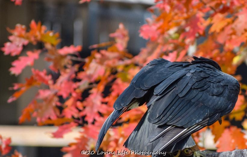 10 22 17 Black Vulture (8 of 8)