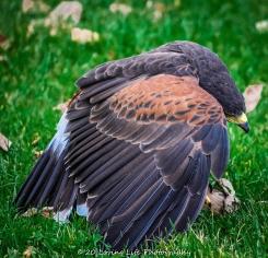 10 22 17 Harris Hawk (10 of 22)